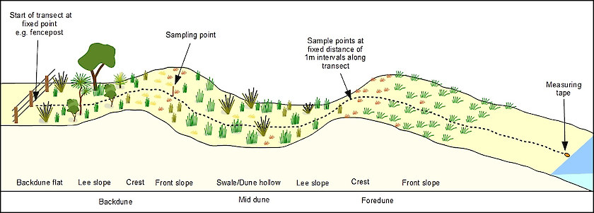 Set up a transect by running a tape across the dune along a bearing perpendicular to the coast from a fixed landward marker (e.g. peg, fence post) to the high water mark.